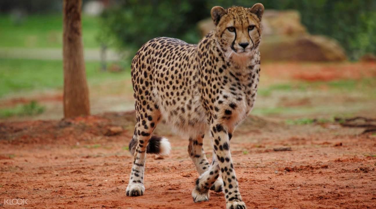 速度的王者猎豹,几乎是非洲大草原的代名词,在威瑞比开放式动物园中