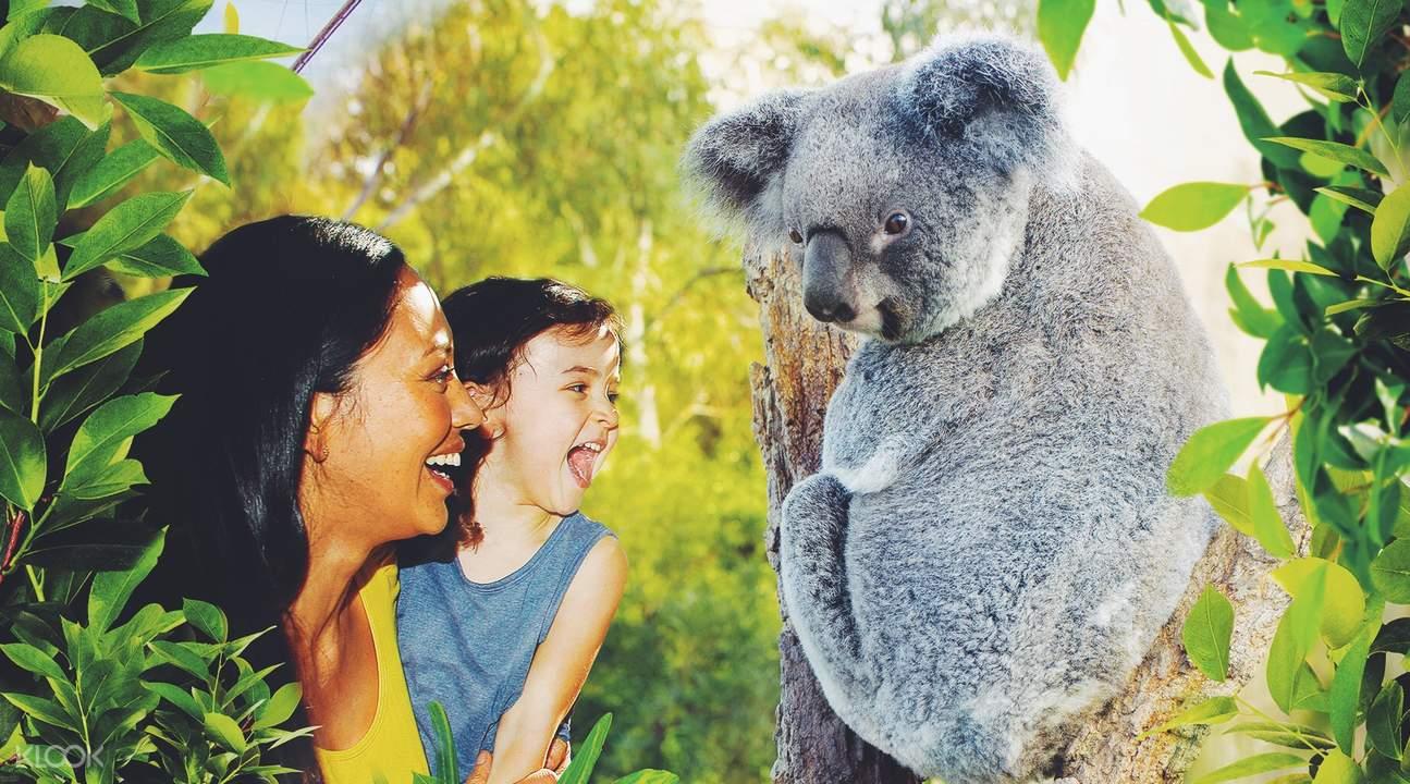 雪梨野生动物园 与无尾熊共进早餐