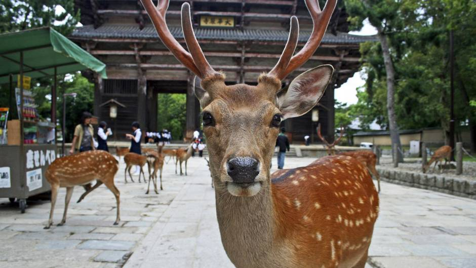 How-To-Save-$100-On-Your-Year-End-Holiday-To-Japan-nara-deer-park