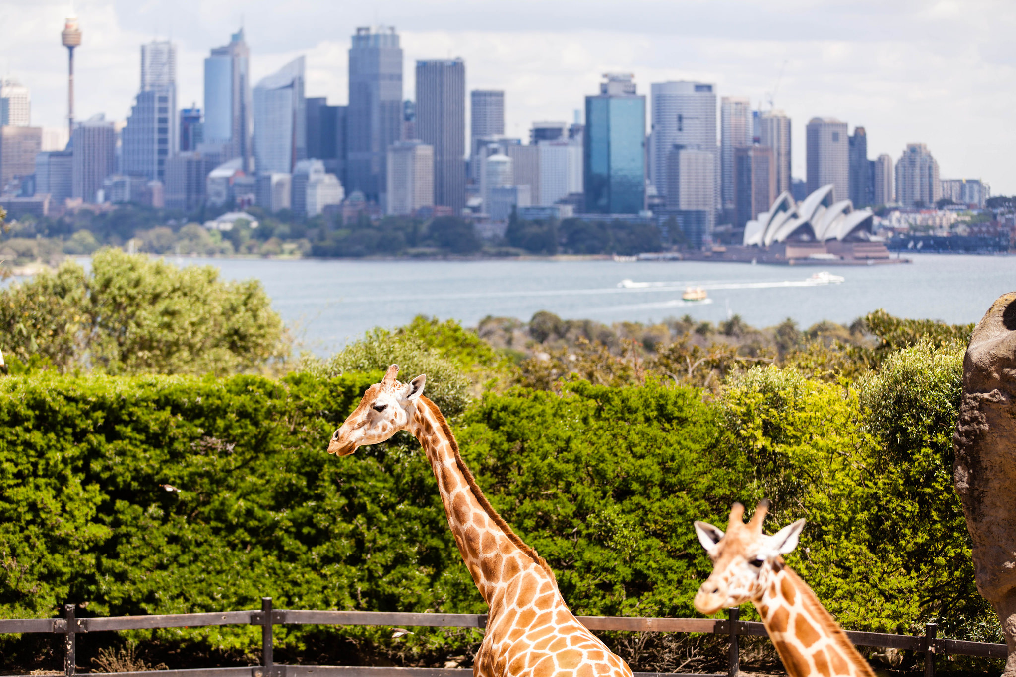 一邊和超可愛的長頸鹿互動,還能一邊欣賞雪梨城市美景。(Flickr授權作者-Darren Puttock)