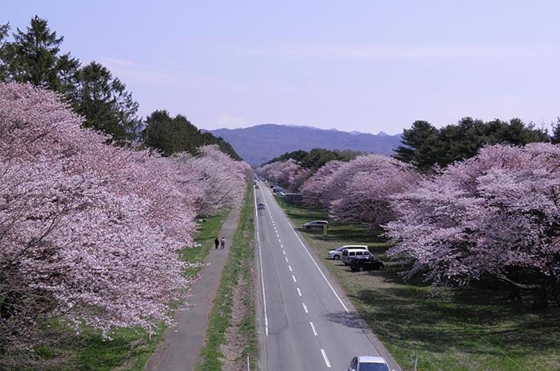 二十間道路櫻並木(照片來源:新日高町觀光協會官網)https://goo.gl/b5u2nN