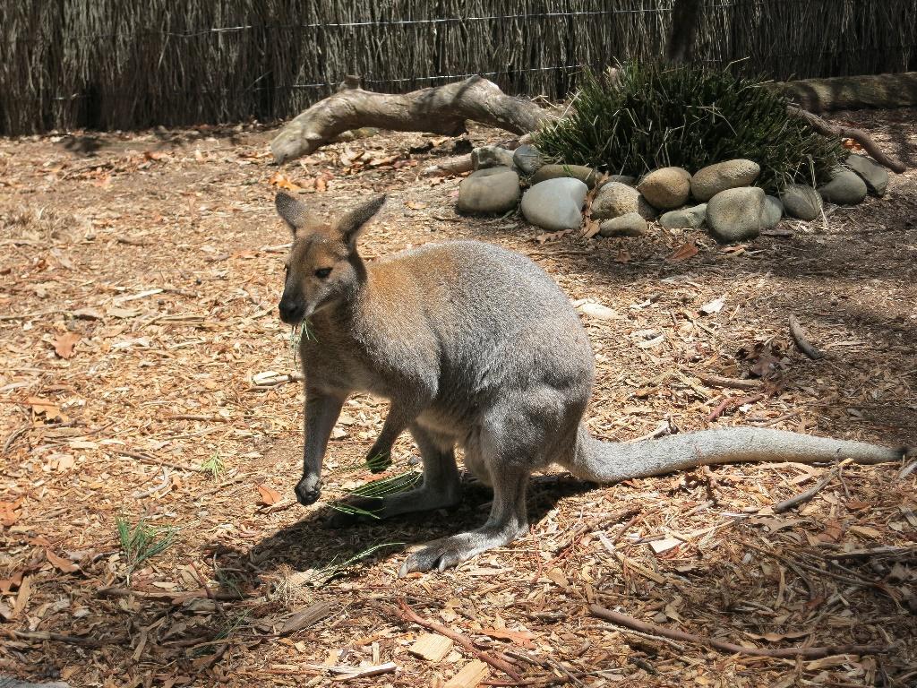 來到澳洲,一定要看看超萌的袋鼠。(Flickr授權作者-wiredforlego)
