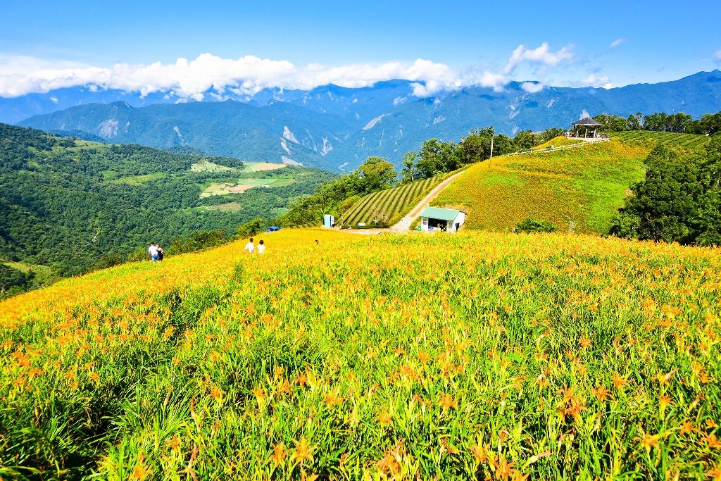 滿山遍野盛開的金針花海,宛如一大片金黃色的柔軟地毯。(Flickr授權作者-Cy Speed)