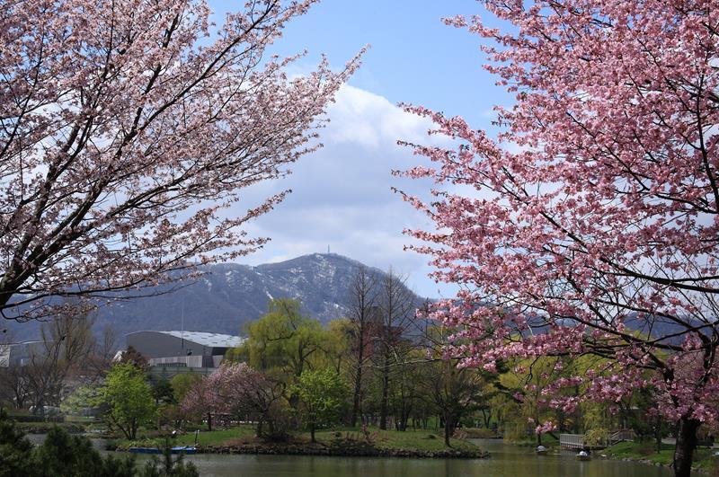 藻岩山的櫻花(照片來源:札幌觀光協會官網)https://goo.gl/4pgrtg