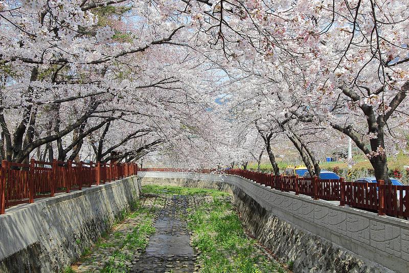 釜 山 鎮 海 賞 櫻 花 。