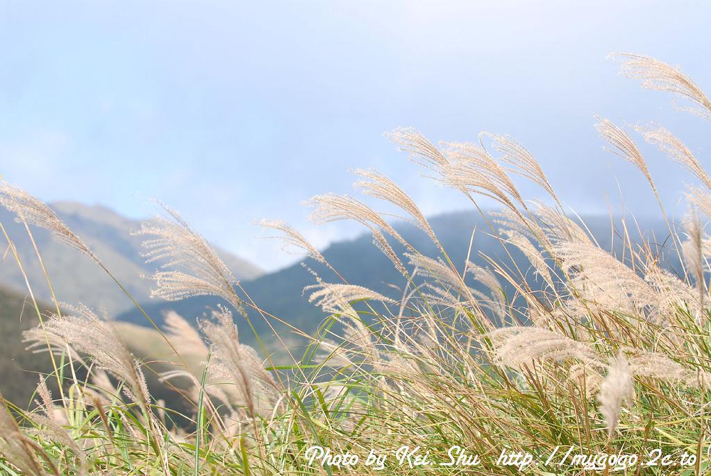 擎天崗隨風飄逸的迷人芒花。(Flickr授權作者-CHEN MIKI)