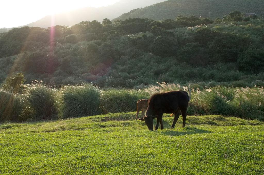擎天崗可愛的牛群們。(Flickr授權作者-PROAki sa)