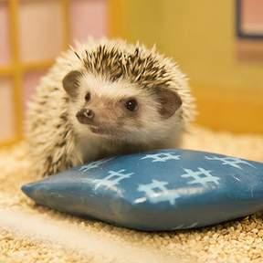 Hedgehog Home and Café in Shibuya (ちくちくCAFÉ) - Cute Hedgehog Experience