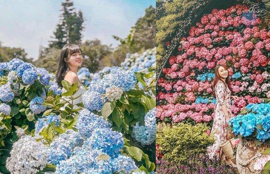 台灣繡球花