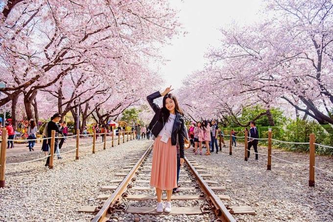 Spring In Korea Cherry Blossom Korea 2021 Forecast Trazy Blog