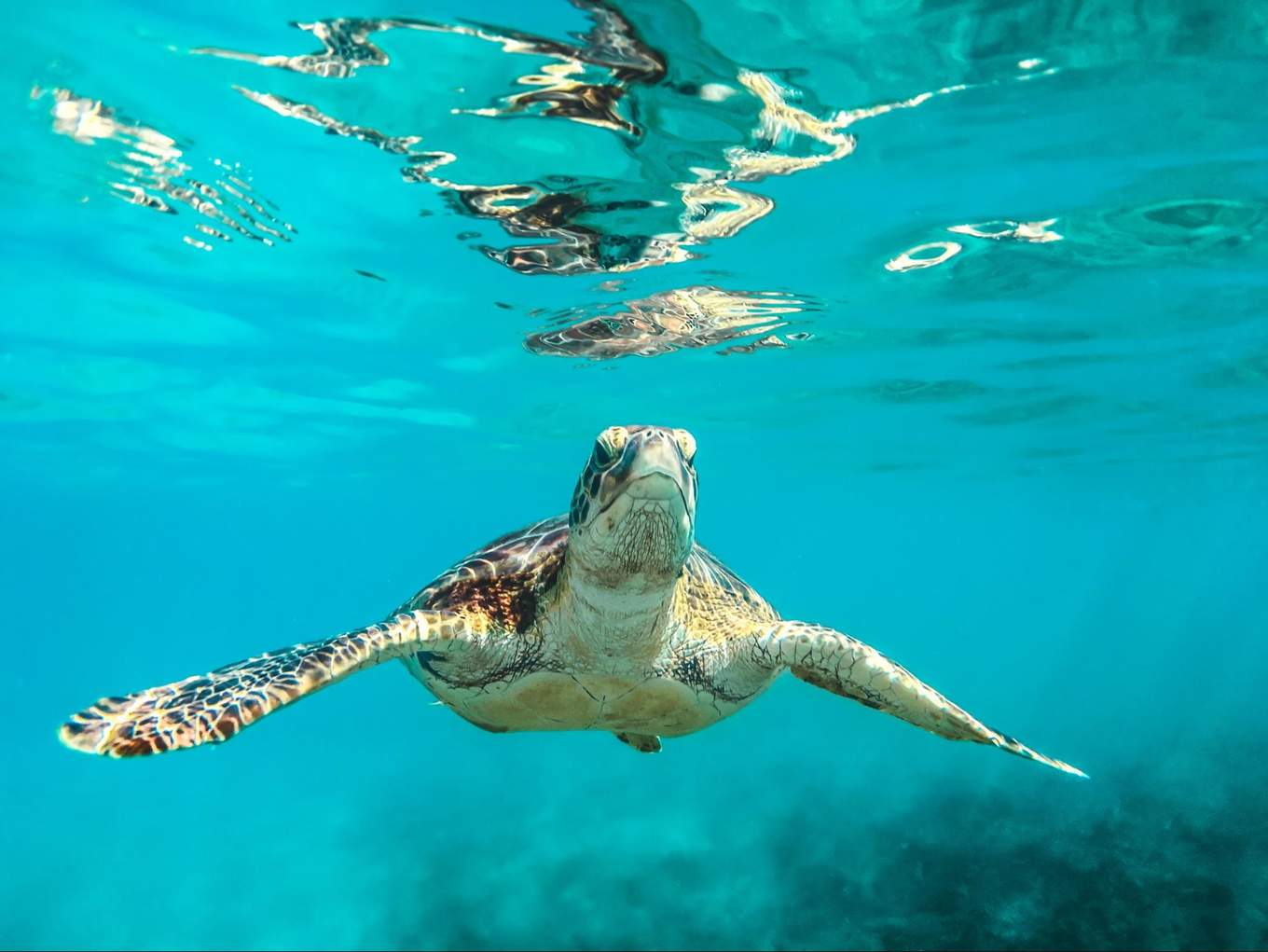 Sea turtle in Barbados
