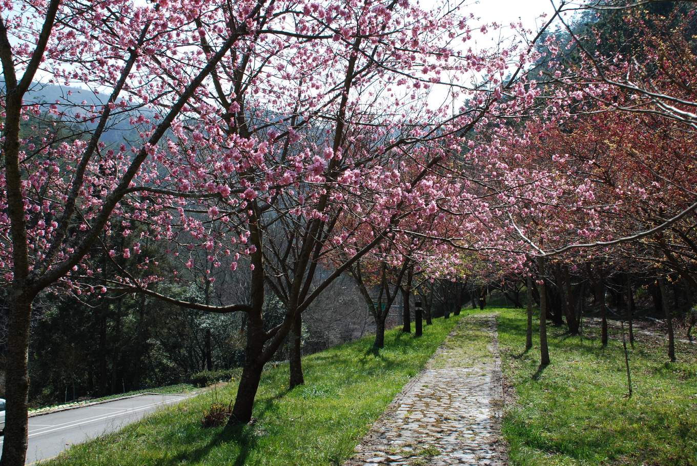 Wuling Farm cherry blossom path