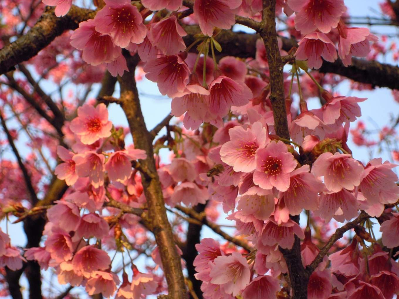 Yangmingshan cherry blossoms