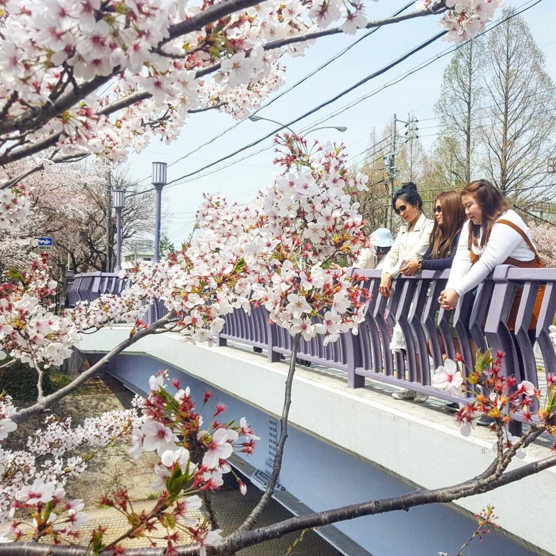 Sakura from the Yamazaki River bridge