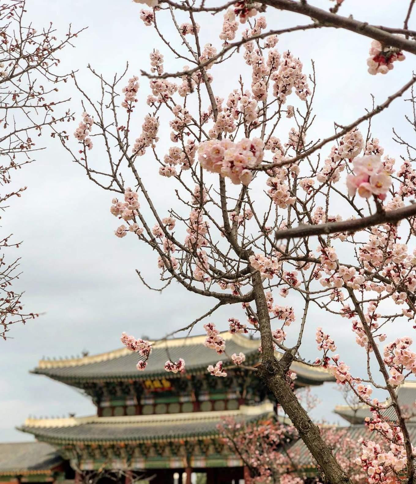 Gyeongbokgung Palace cherry blossoms