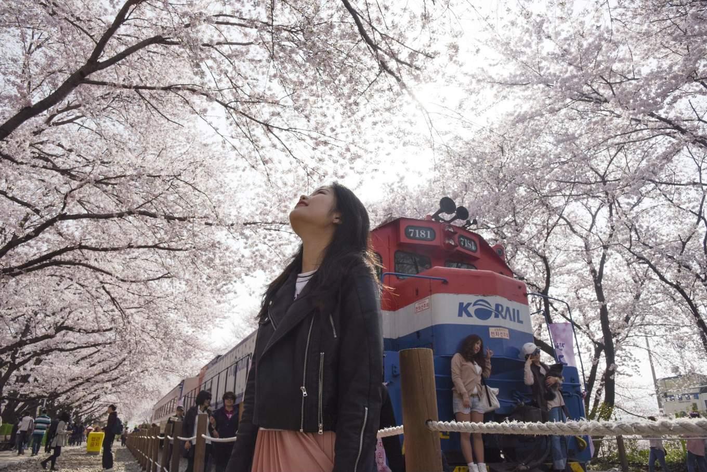 Gyeonghwa Rail train under the cherry blossoms