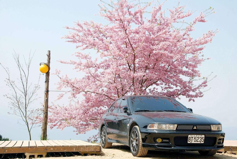 Alishan cherry blossom sites