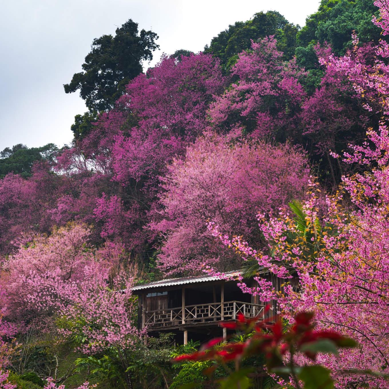 Cherry Blossoms in Baan Khun Chang Kian