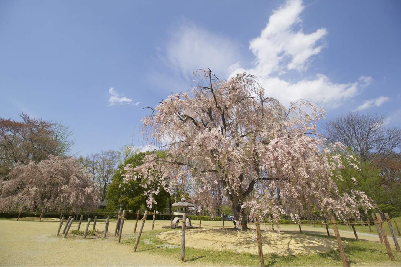 Kajo park sakura