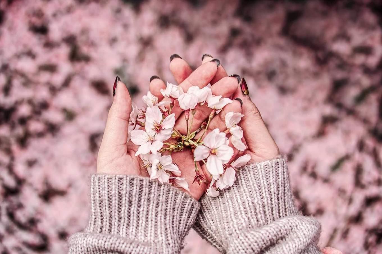 Sakura blossoms meguro river