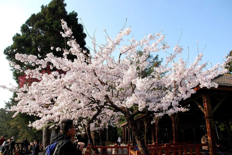 Alishan Cherry Blossom shelters