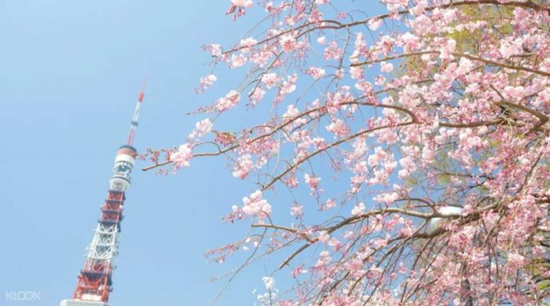 tokyo tower cherry blossom