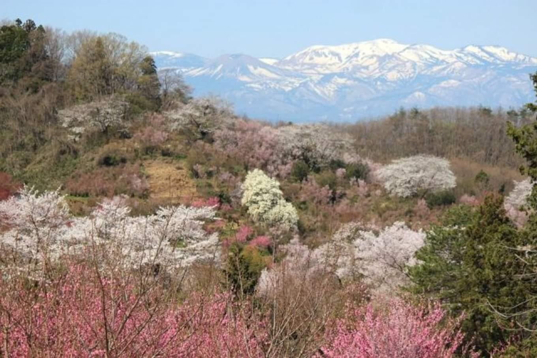 hanamiyama park cherry blossom