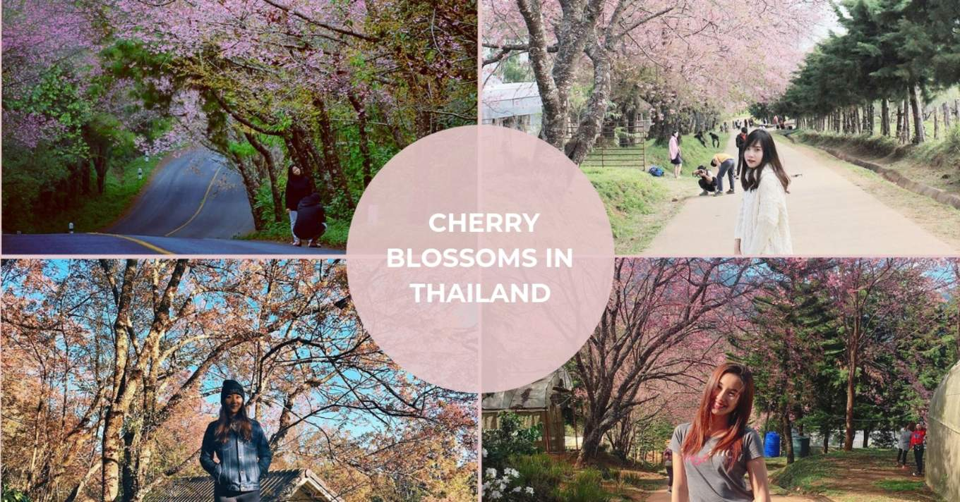 Cherry Blossoms In Thailand