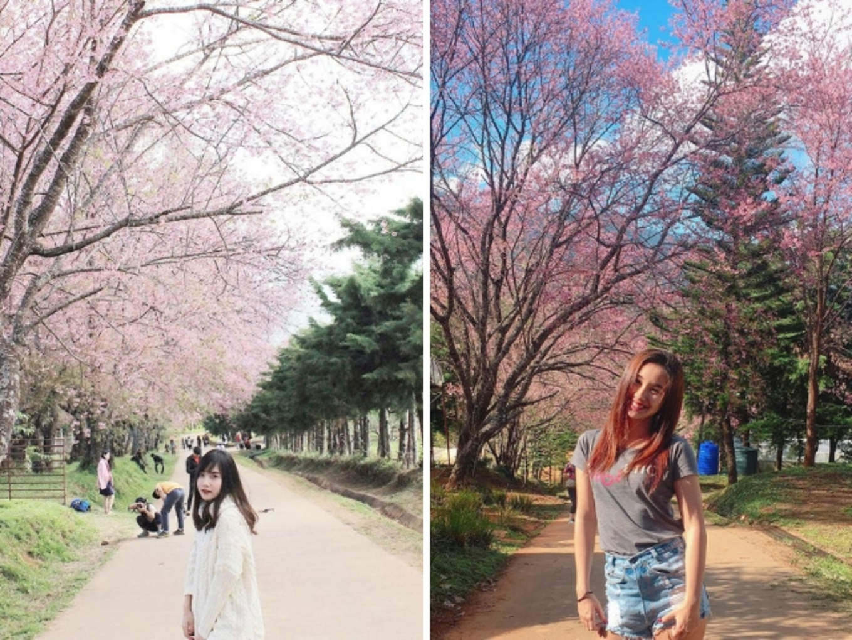 Doi Inthanon Cherry Blossoms