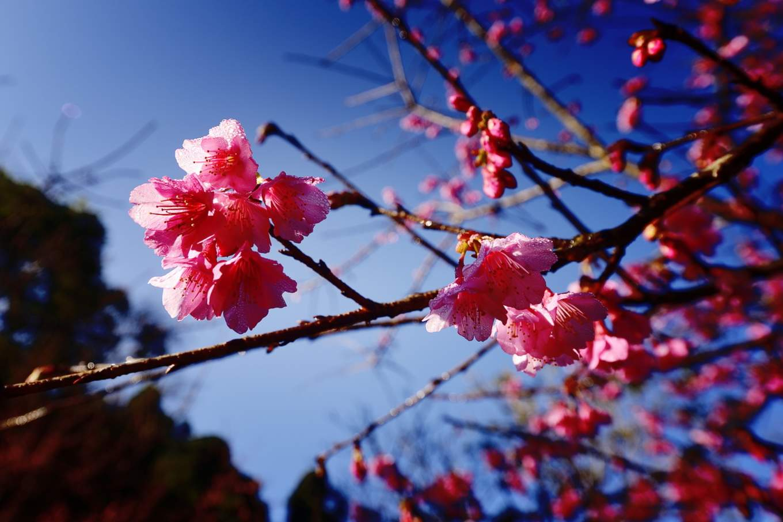 Cherry blossoms at Doi Ang Khang
