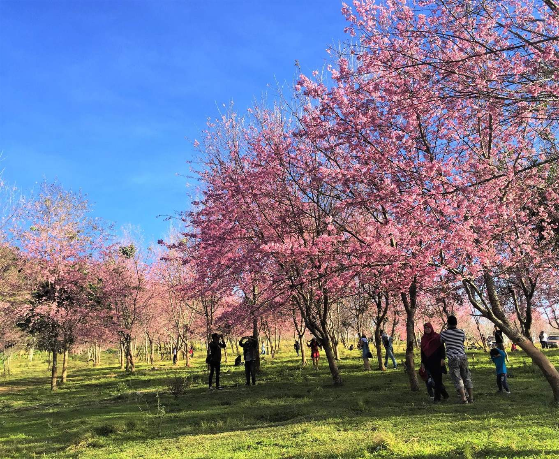 Phu Lom Lo Cherry Blossoms
