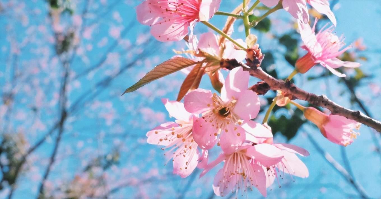 Cherry blossoms on doi suthep mountain