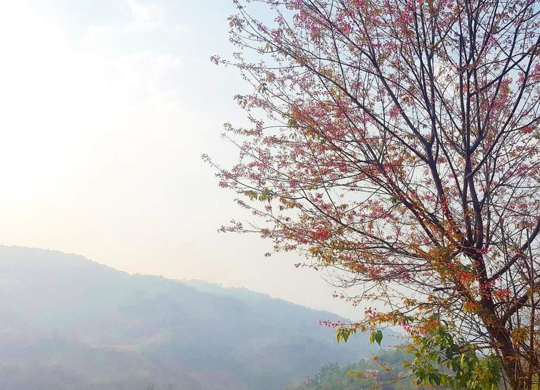 Doi Mae Salong Cherry Blossoms