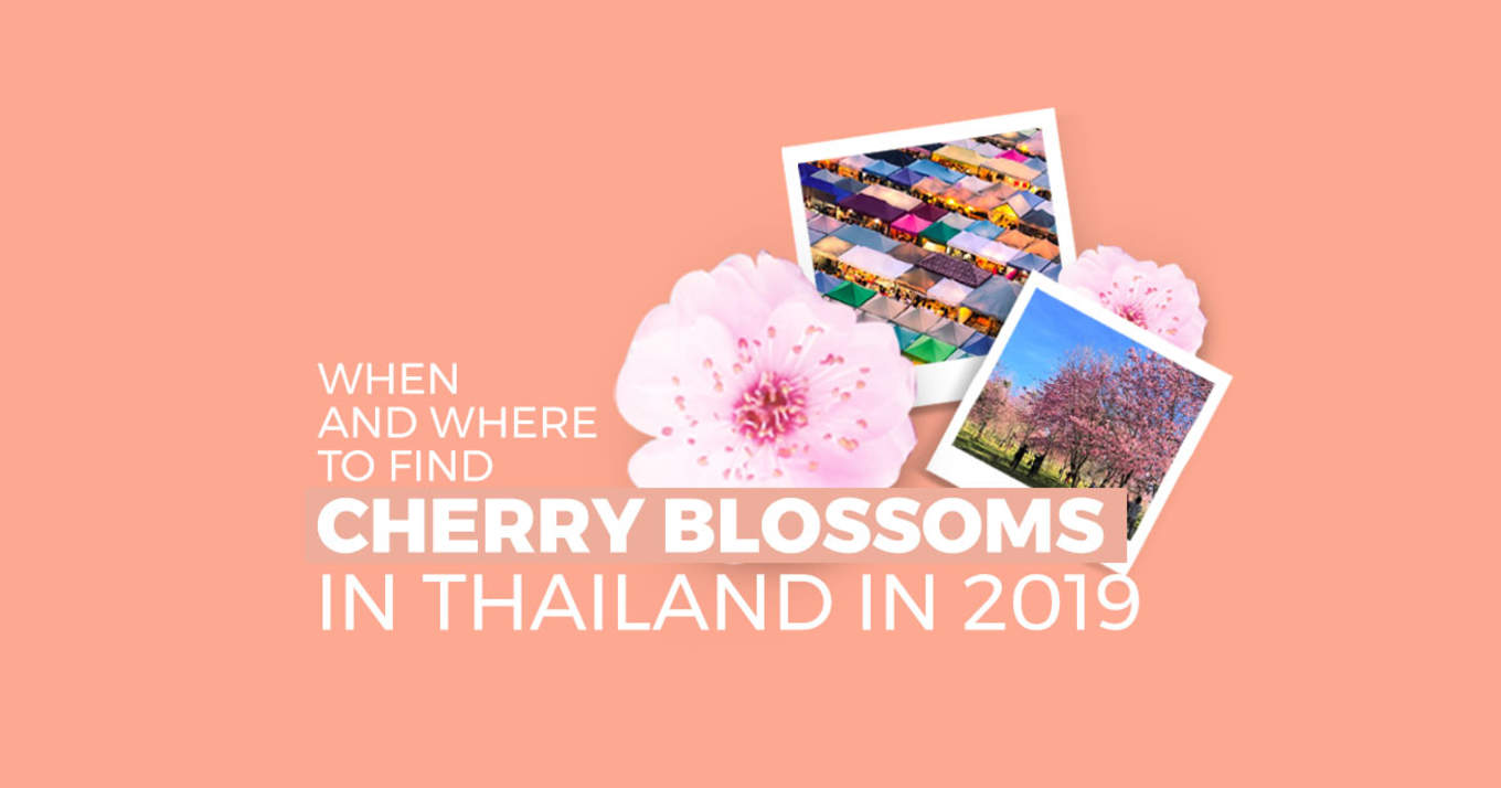 Thailand Cherry Blossoms5
