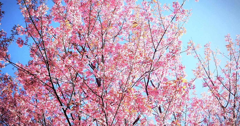 Doi Chang Cherry Blossoms