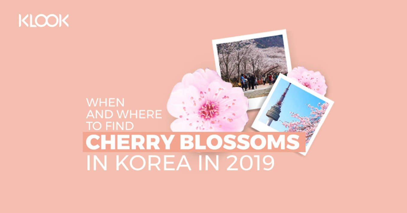 cherry blossoms korea cover