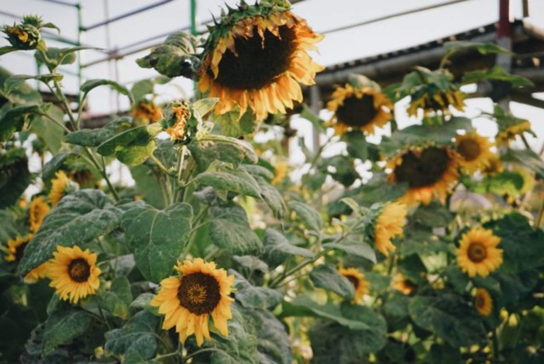 yogyakarta sunflower garden pantai samas