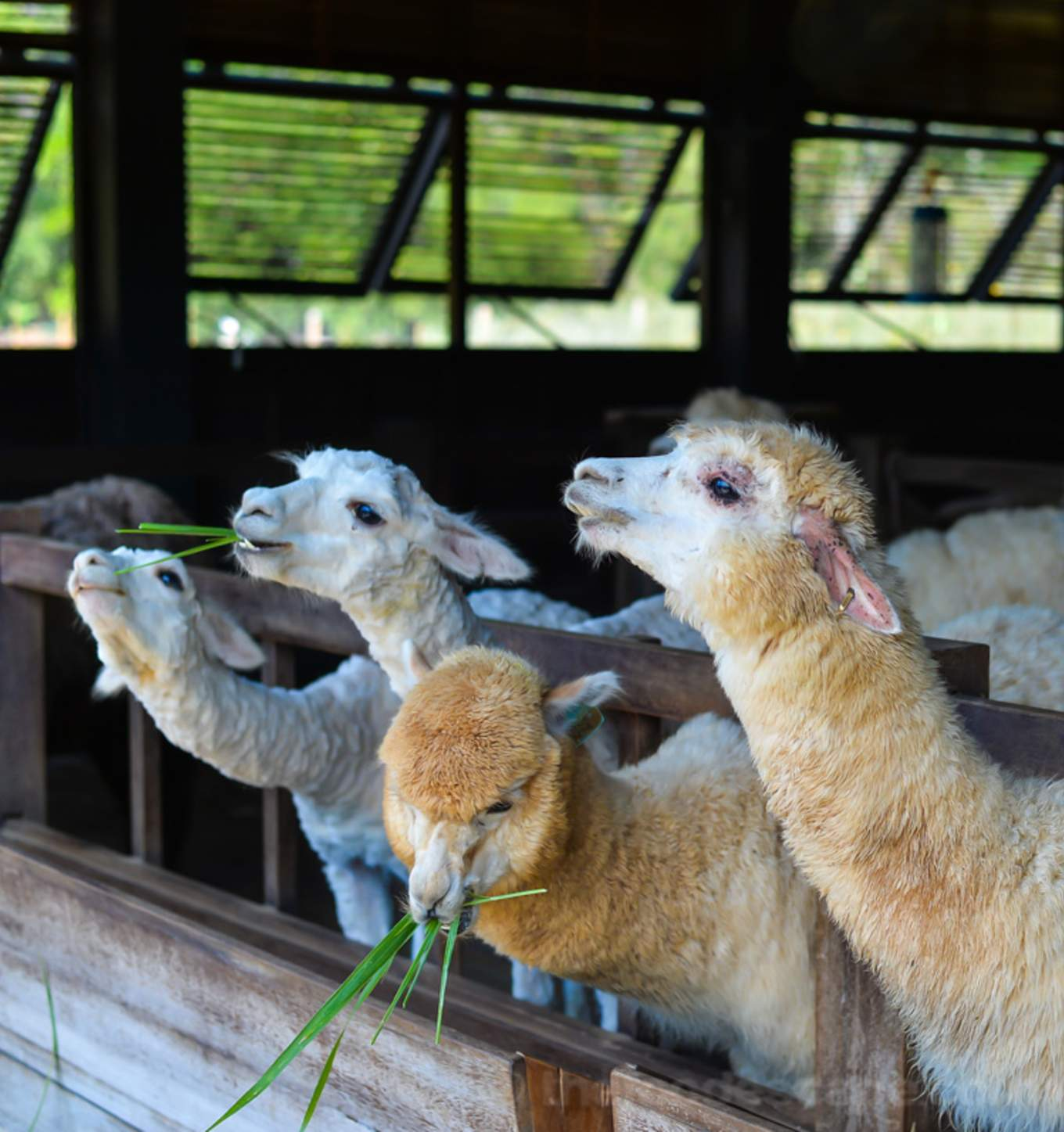 10-Activities-That-Will-Make-You-Wish-Family-Time-Would-Never-End-primo-piazza-alpacas-khao-yai