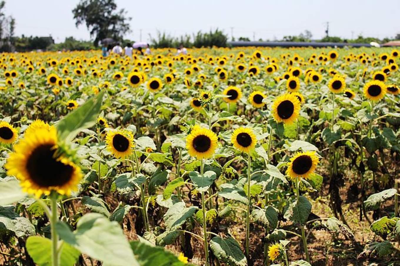 向陽農場 向日葵花海 來源:fb @love.sungreen