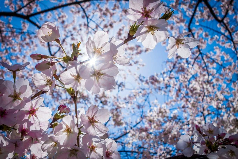 Cherry Blossoms 1522641656 1024x682