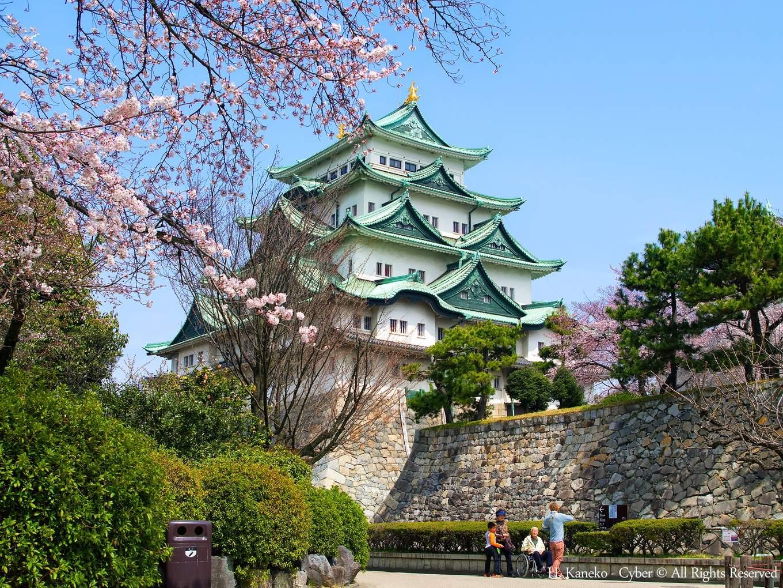盛放櫻花的名古屋城。(圖片來源:wikipedia)