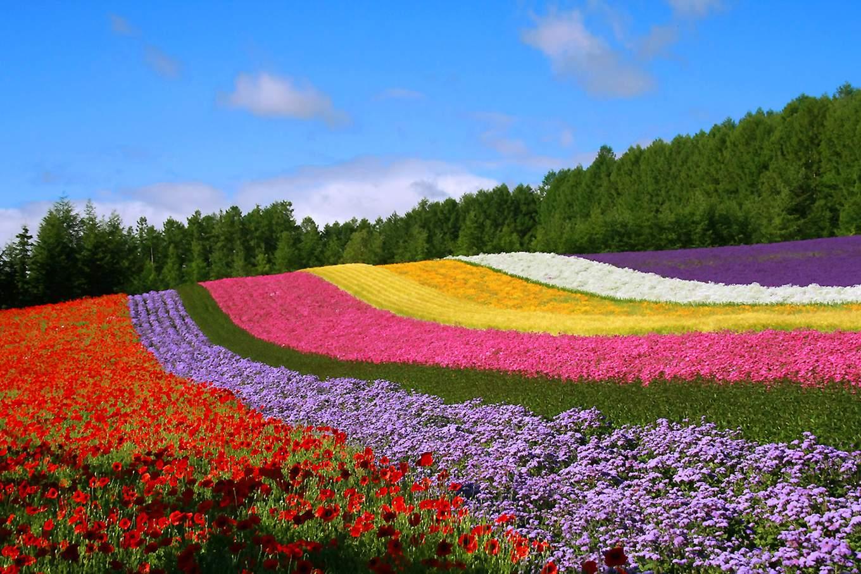 富良野拼布之丘,照片來源KLOOK官網