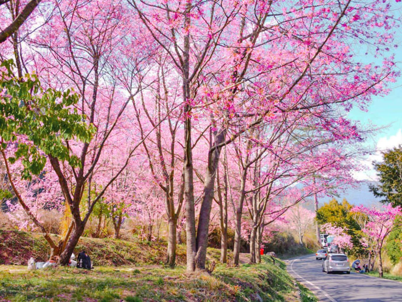 武陵農場櫻花