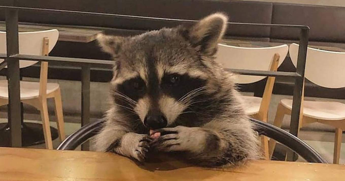 racoon cafe