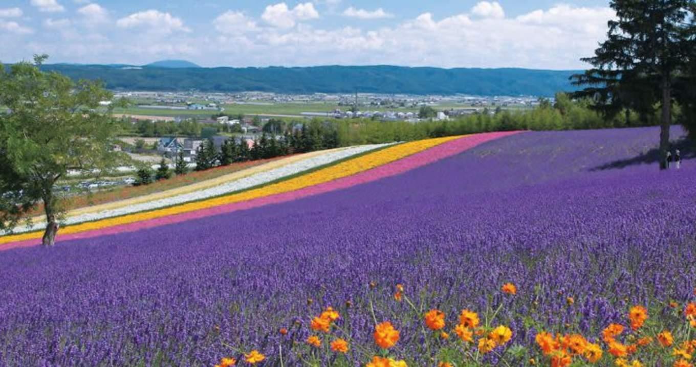 tham quan cánh đồng hoa oải hương ở tomita trong lịch trình du lịch sapporo bằng JR Pass