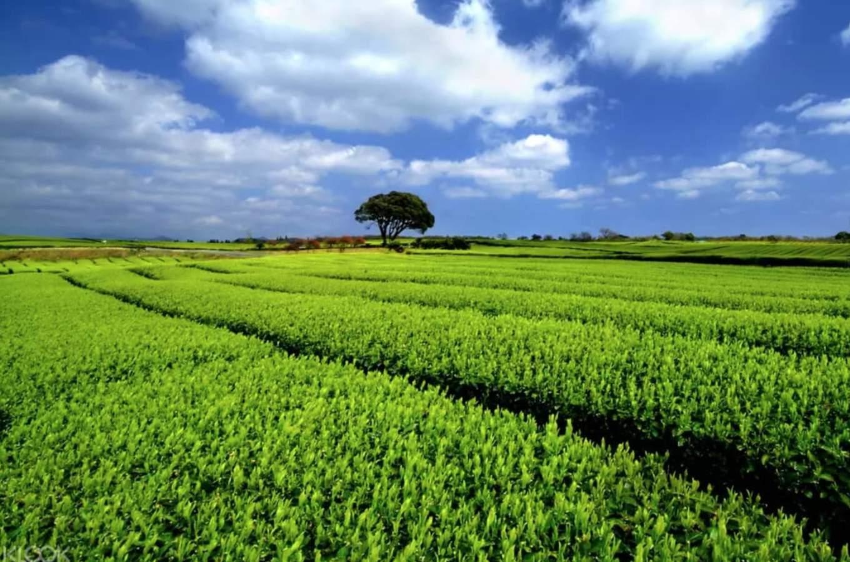 địa điểm tham quan ở đảo jeju: cánh đồng trà xanh o'sulloc