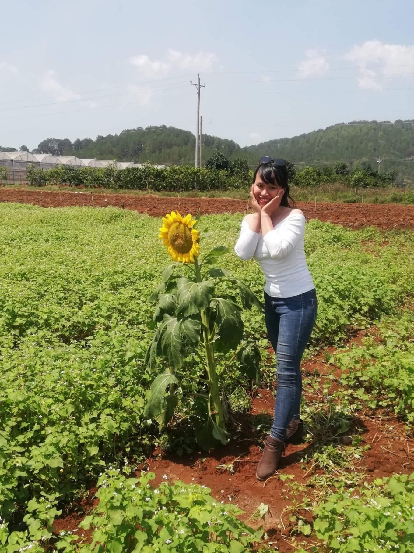 hoa hướng dương trong vườn tam giác mạch