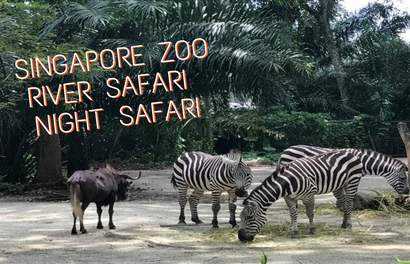 Bingung Mau ke Singapore Zoo, River Safari atau Night Safari?