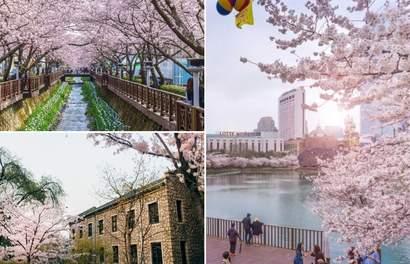 พยากรณ์ซากุระบานที่เกาหลีประจำปี 2019 และจุดชมซากุระที่ดีที่สุด!