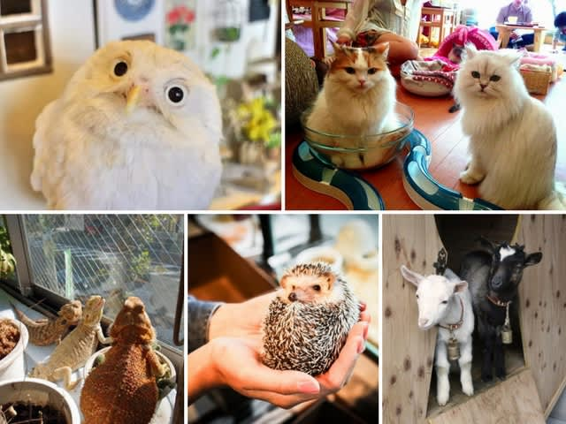 Animal Cafes - Goat, Hedgehog, Cat, Reptile, Owl